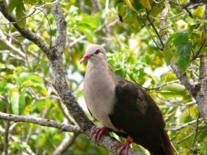 pink pigeon (Columba mayeri)